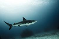 Caribbean reef shark. La Caya, Bahamas.