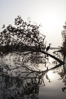 silhouette of heron standing on tree in mangrove swamp