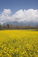 Field of yellow rape seed flower crop