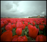 Tulipfield With House