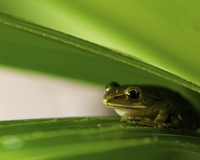 Small frog on green leaf