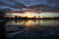 Swan on lake at sunrise 20055023616| 写真素材・ストックフォト・画像・イラスト素材|アマナイメージズ