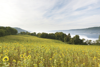A field of sunflowers with Lake Constance in the background.