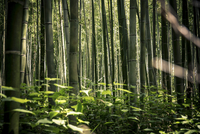 Bamboo forest in Arashiyama