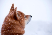 Shiba inu dog in snow, close up of head