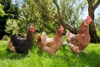Hens on grass