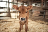 Calf in a barn