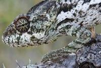 Madagascar Giant Chameleon, Toamasina Province, Madagascar