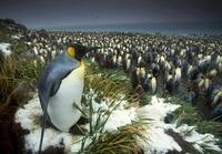 King penguin at edge of rookery, South Georgia Island 20056004002  写真素材・ストックフォト・画像・イラスト素材 アマナイメージズ
