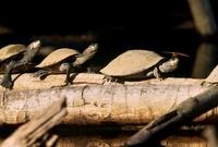 River turtle, Manu National Park, Peru 20056004021| 写真素材・ストックフォト・画像・イラスト素材|アマナイメージズ