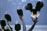 Bald eagles congregate on the beach along Homer Spit, Alaska