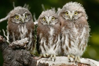Ferruginous pygmy owlets perched on a tree branch, Patagonia