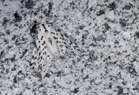 Cryptic tiger moth on granite, Mount Rainier National Park,