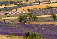 Lavender fields, Sault region, Provence, France