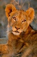 African lion cub, Kruger National Park, South Africa