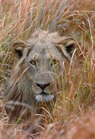African lion in tall grass, Okavango Delta, Ngamiland, Botsw