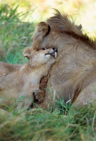 African Lion adult male and cub, Masai Mara National Reserve