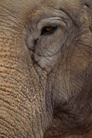 Asian elephant, native to southern parts of Asia.