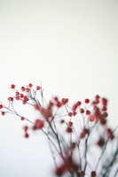 Rosehips with a white background