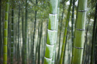 Tonkin bamboo growing in forest