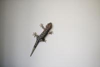 Lizard against grey background