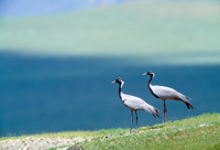 Demoiselle cranes, Tov Province, Mongolia Canon EOS-1N Canon EF 600mm lens June 1998