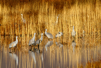 Sandhill cranes, Bosque del Apache National Wildlife Reserve, New Mexico