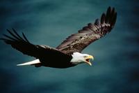 Bald eagle in flight, Unalaska Island, Alaska