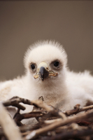 A Golden Eagle eaglet sits in its nest, Alaska