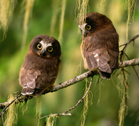 Saw-whet owlets, Washington, USA