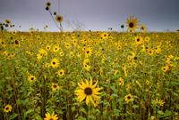 Common Sunflower, San Luis National Wildlife Refuge, California