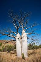 Boab or Australian baobab, Kimberley, Western Australia 20056008563| 写真素材・ストックフォト・画像・イラスト素材|アマナイメージズ