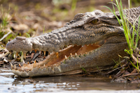 Saltwater crocodile, Kakadu National Park, Australia