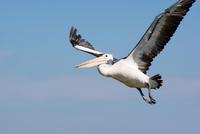 Australian Pelican, Australia