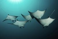 Manta rays underwater