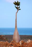 ソコトラ島 20057001147| 写真素材・ストックフォト・画像・イラスト素材|アマナイメージズ