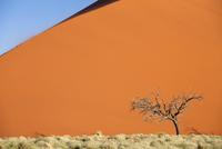 Dead camel thorn tree against the orange sand of Elim Dune, Namib Desert near Sesriem, Namib Naukluft Park, Namibia, Africa