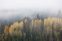 Yellow aspens and evergreens with low clouds, Wasatch-Cache National Forest, Utah, United States of America, North America