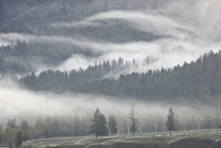 Fog mingling with evergreen trees, Yellowstone National Park, UNESCO World Heritage Site, Wyoming, United States of America, Nor