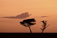 Two acacia trees at dawn, Serengeti National Park, UNESCO World Heritage Site, Tanzania, East Africa, Africa 20062000500| 写真素材・ストックフォト・画像・イラスト素材|アマナイメージズ