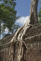 A sprawling root lays over a wall, Tah Prohm, Angkor, UNESCO World Heritage Site, Cambodia, Indochina, Southeast Asia, Asia