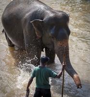 An adult elephant (Elephantidae) washes in the river, Pinnewala Elephant Orphanage, Sri Lanka, Asia