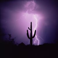 Cactus silhouetted against lightning, Tucson, Arizona, United States of America (U.S.A.), North America