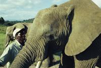 Elephants, Knysna Elephant Park, Knysna, South Africa, Africa