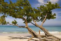 Tree growing on the beach, Guardalavaca, Cuba, West Indies, Central America