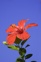 A red hibiscus flower in January, Cuba, West Indies, Central America