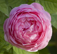 A pink English rose, Rosa Constance Spry taken in June, London, England, United Kingdom, Europe