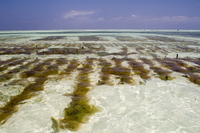 Seaweed farms in the sea at low tide, Paje, Zanzibar, Tanzania, East Africa, Africa