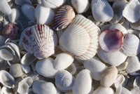Close up of shells including a fan scallop and calico scallop on a beach on Sanibel Island, Florida, United States of America, N