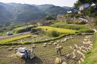 Threshing freshly harvested rice in a small terraced paddy field near Oita, Kyushu, Japan, Asia 20062005037| 写真素材・ストックフォト・画像・イラスト素材|アマナイメージズ